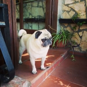 Pug from Old Caserta
