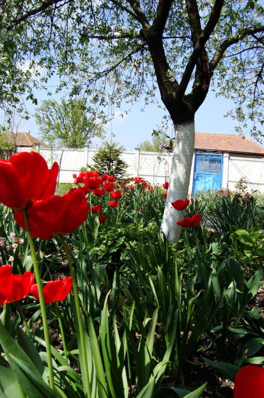 red-tulips1